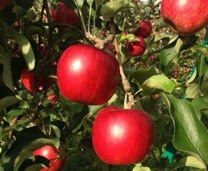 タムラファームのりんご農園